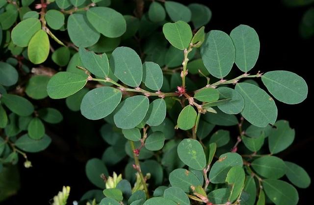 Cái tên diệp minh châu hay cây phèn đen có lẽ đã không còn xa lạ trong các bài thuốc y học cổ truyền