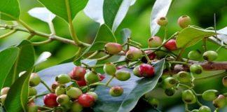 Lá vối tiếng anh được gọi là Syzygium nervosum là một loài thân mộc cỡ vừa. Có thể sinh trưởng và đạt được chiều cao trong khoảng 12 – 15 m.