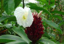Mỗi thân cây sẽ tạo ra một cụm hoa cuối giống hình quả thông màu đỏ sẫm hoặc màu nâu đỏ
