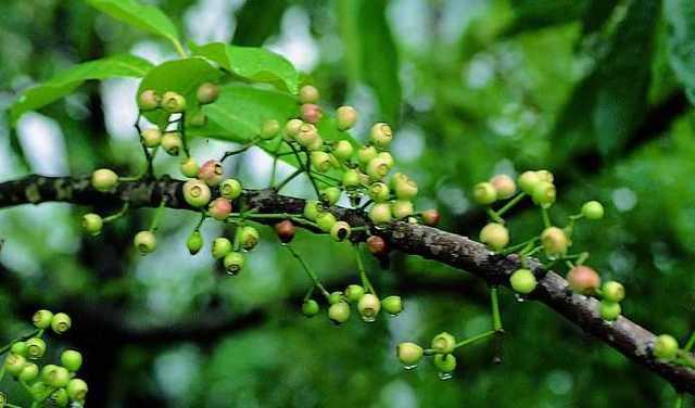 Nụ hoa vối thực tế được thu hái từ cây vối, là một loại cây dược liệu thuộc họ Sim.