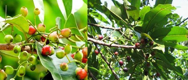 Theo các nghiên cứu thì lá vối là một loại thảo dược chứa khá nhiều tamin cũng như các khoáng chất và vitamin