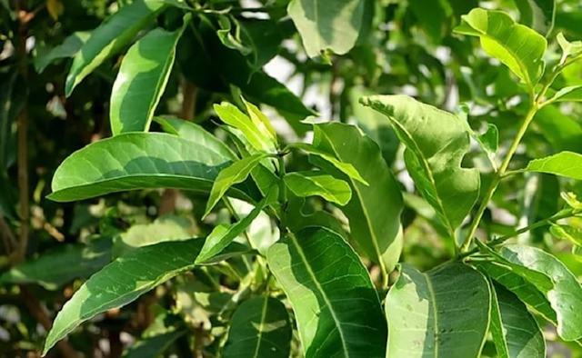 Vì là loài cây nhiệt đới, nên có thể tìm thấy lá vối ở rất nhiều quốc gia Châu Á, chẳng hạn như Lào, Trung Quốc, Ấn Độ, … và cả ở Việt Nam.